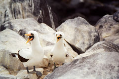 Galapagos Masked Booby. Two Masked Booby singing, Galapagos Islands, Ecuador Royalty Free Stock Images