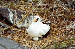 Galapagos Masked Booby nesting on egg Royalty Free Stock Image