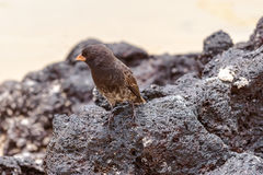 Galapagos Medium-ground Finch (Geospiza fortis) in Santa Cruz, royalty free stock photo