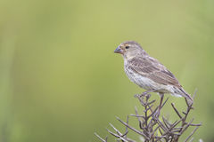 Galapagos Medium-ground Finch (Geospiza fortis) young perched Stock Image