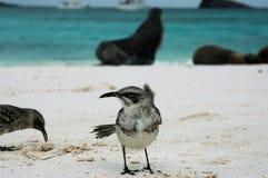 Galapagos Mockinbird. This photo was taken on Gardner Bay beach,San Cristobal Island,Galapagos Royalty Free Stock Photography