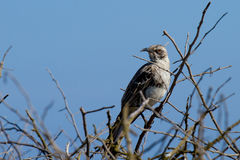 Galapagos Mockingbird. In tree branches scouting dinner royalty free stock image