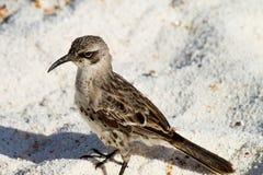 Galapagos Mockingbird. Mockingbird on the beach in the Galapagos Islands royalty free stock image