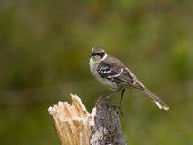 Galapagos Mockingbird. (Nesomimus parvulus Stock Images