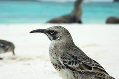 Galapagos Mockingbird closeup. Royalty Free Stock Images