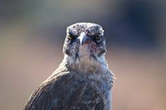 Galapagos Mockingbird. (Mimus parvulus) looking straight at the camera Royalty Free Stock Photography