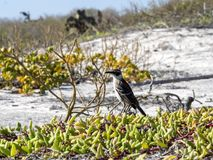 Galapagos Mockingbird, Nesomimus parvulus, on colorful coastal vegetation, Santa Cruz, Galapagos Islands, Ecuador. The Galapagos Mockingbird, Nesomimus parvulus Stock Photography