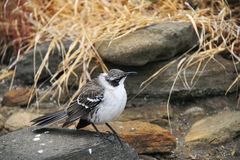 Galapagos Mockingbird Stock Photography