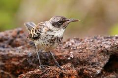 Galapagos Mockingbird On Genovesa Island, Galapagos National Par Stock Photo