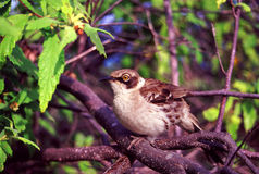 Galapagos Mockingbird Santiago Island Stock Photography