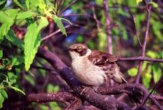 Galapagos Mockingbird Santiago Island stock photography