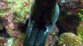 Galapagos morey eel show its teeth stock video footage
