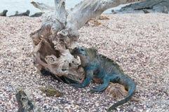 Galapagos morska iguana z dryftowym drewnianym drzewem na plaży Fotografia Stock