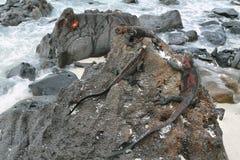 Galapagos Morskie iguany odpoczywa na skałach Zdjęcie Royalty Free