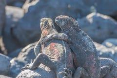 Galapagos Morskiej iguany nagrzanie w słońce promieniach obraz stock