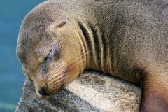 Galapagos-otaria Immagine Stock