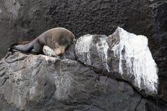 Galapagos pälsskyddsremsa som sover, Isla Genovesa Fotografering för Bildbyråer