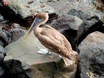 Galapagos Pelican. Pelican in the Galapagos Islands, Ecuador, South America stock image