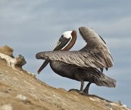 Galapagos Pelican Stock Photo