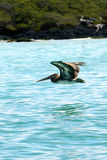 Galapagos Pelican Royalty Free Stock Images