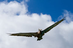 Galapagos Pelican. Galapagos Islands Pelican flying by overhead royalty free stock images
