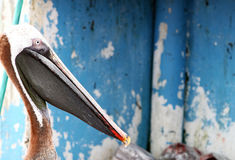 Free Galapagos Pelican Stock Photos - 5761233