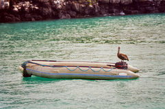 Galapagos pelican on boat royalty free stock image