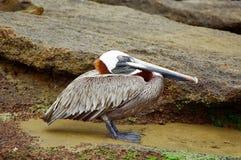 galapagos pelikan Arkivfoton