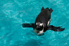 Galapagos Penguin royalty free stock images