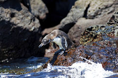 A Galapagos Penguin Royalty Free Stock Images