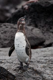 Galapagos penguin. On Floriana island taken from a boat Stock Images
