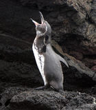 Galapagos Penguin calls out. For mum on Bartolome Island Stock Photography