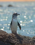 Galapagos penguin, galapagos islands Stock Images