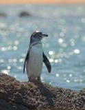 Galapagos penguin, galapagos islands stock images