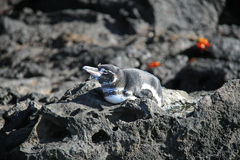 Galapagos penguin Royalty Free Stock Image