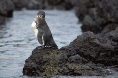 Galapagos Penguin Looking At The Ocean - Galapagos Stock Photos
