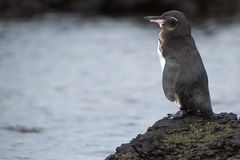 Galapagos Penguin looking at the ocean - Galapagos Royalty Free Stock Photography