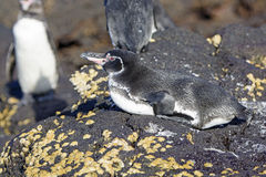 Galapagos Penguin resting on Shore Stock Photos