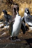 A Galapagos Penguin Spheniscus mendiculus preening on a rock with marine iguanas in the background, Isabela Island stock images