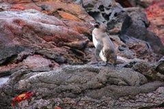 Galapagos Penguin standing on rocks, Bartolome island, Galapagos Stock Image