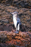 Galapagos Penguin standing on rocks, Bartolome island, Galapagos Stock Photo