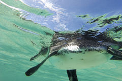 Galapagos penguin swimming underwater. Galagapos, Ecuador. Close-up view of a little Galapagos penguin swimming underwater. Galapagos Island. Ecuador 2015 Stock Images