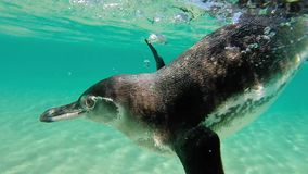 Galapagos penguin swimming underwater. Galagapos, Ecuador. Close-up view of a little Galapagos penguin swimming underwater. Galapagos Island. Ecuador 2015 stock footage