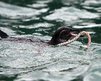 Galapagos penguin with tiger snake eel Stock Photos