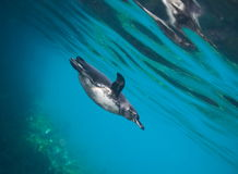 Galapagos penguin underwater Royalty Free Stock Images