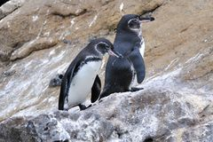 Galapagos Penguins Royalty Free Stock Images