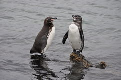 Galapagos Penguins on Lava Rock Stock Photography