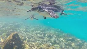 Galapagos penguins swimming underwater. Galagapos, Ecuador stock video