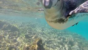 Galapagos penguins swimming underwater. Galagapos, Ecuador stock video footage