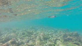 Galapagos penguins swimming underwater. Galagapos, Ecuador stock video